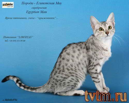 Породистые котята фото и названия пород